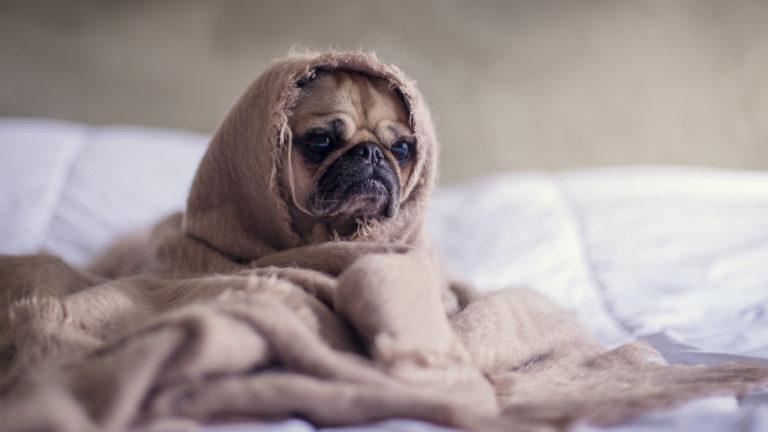 Der NaNoWriMo - Wenn aus Spaß Stress wird. Ein traurig aussehender Mops, der in eine Decke eingewickelt auf einem Bett sitzt. Foto by Matthew Henry via Unsplash